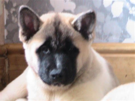 akita puppy for sale akita puppies for sale newport newport pets4homes