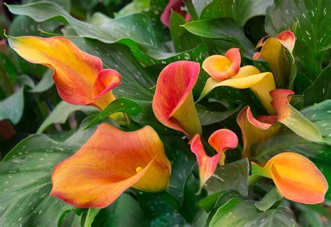 Blume Calla Pflege by Die Pflege Der Zimmercalla 187 Gie 223 En Umtopfen D 252 Ngen Und Mehr