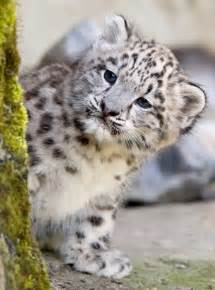 Pictures of baby snow leopards animal showtellyou com