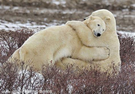two polar bears in a bathtub polar bears hug 3 chinadaily com cn