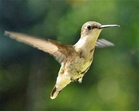 ruby throated hummingbird departure date