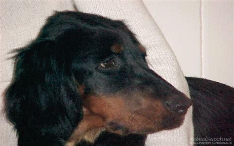 setter puppies gordon setter puppy puppies wallpaper 13985266 fanpop