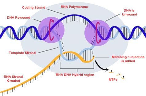 what is the template for transcription dna transcription biology tutorvista