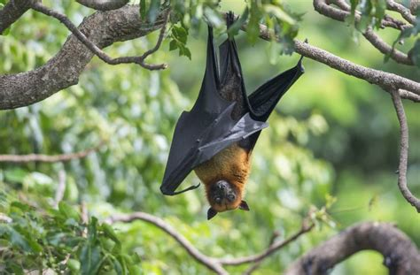surprising facts  bats   grapevine