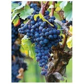 vivai uva da tavola barbatelle variet 224 da tavola pisa vivai donato