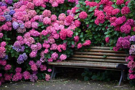 beautiful flowering shrubs 15 beautiful backyard ideas for hydrangea shrubs blending