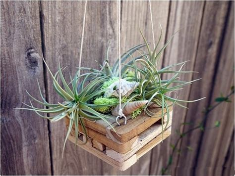 decorate  home   maintanence air plants