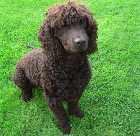 water spaniel puppies water spaniel