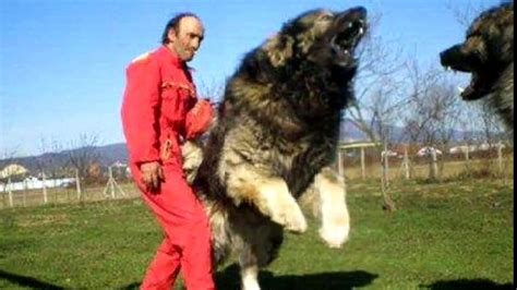 rottweiler vs wolf would win tibetan mastiff vs pitbull www pixshark images galleries with a bite