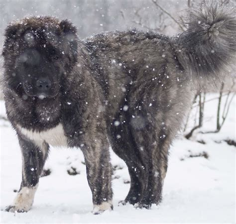 russian prison dogs caucasian mountain russian prison www imgkid the image kid has it