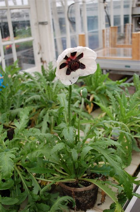 papaver horticulture