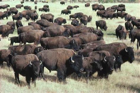 amerikanischer herd i got trled again by a bison pics