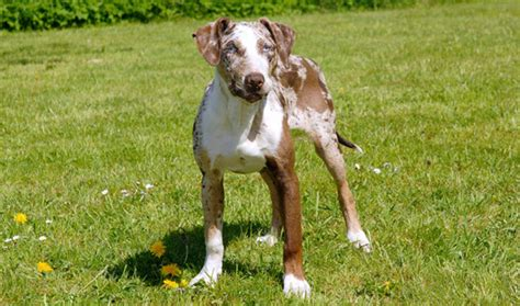 catahoula leopard dogs catahoula leopard breed information