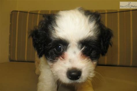 chipoo puppies chi poo chipoo puppy for sale near hattiesburg mississippi 88a8263b 0a71