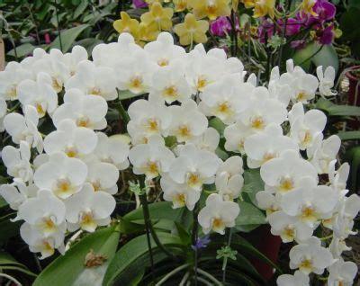 Pupuk Bunga Yg Bagus kumpulan foto bunga anggrek anggrekbulan77 s