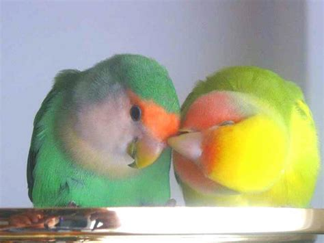 how much do lovebirds cost howmuchisit org