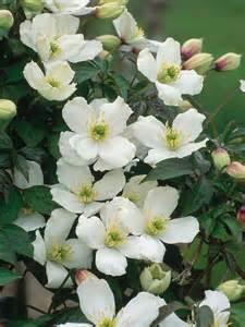 flowering clematis flowering vines for summer hgtv