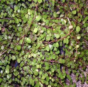 Tiny Home Design Tips angelvine aka creeping wire vine barton s greenhouse and