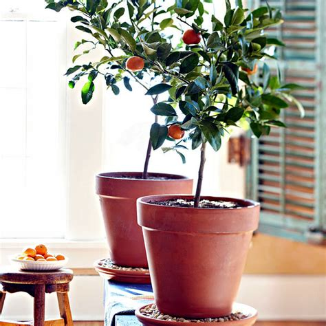 Small Fruit Trees For Pots - you can dwarf fruit trees in pots and growing trays on the balcony interior design ideas
