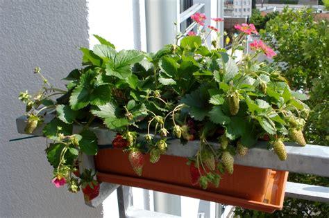 himbeeren pflanzen balkon erdbeeren balkon balkon fensterbank erdbeere 39 font
