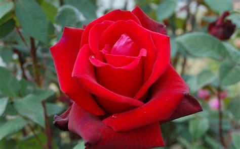 wallpaper flower rose free download red rose flower free download hd wallpapers