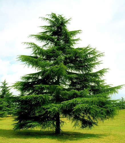 abeti da giardino dopo le feste recuperare l albero di natale