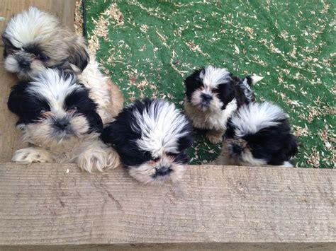 shih tzu puppies for sale in swansea shih tzu puppies swansea swansea pets4homes