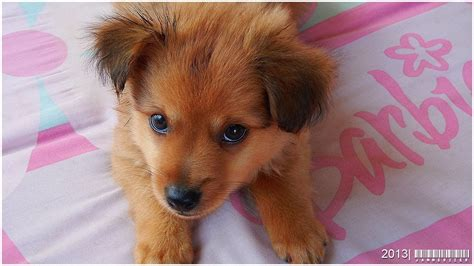 pomeranian cross pomchi pomeranian chihuahua cross breed