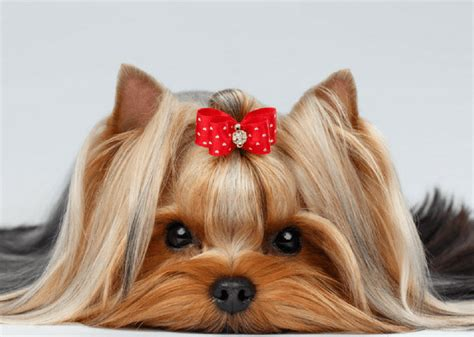 is yorkie and terrier the same a look at the terrier positively marvelous