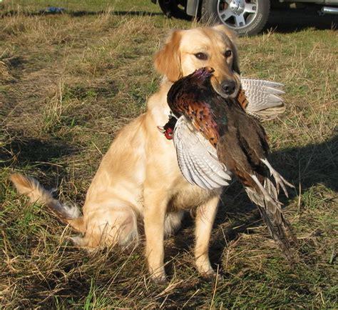 how to a golden retriever to hunt do golden make hunt dogs golden retrievers