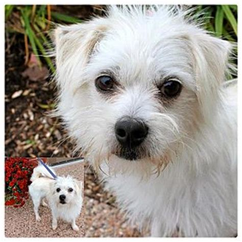 maltese in chinese collin adopted dog garden city mi maltese chinese