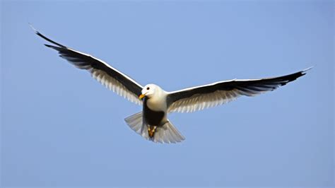 tmobile inflight seagull bird in flight with outstretched wings hd
