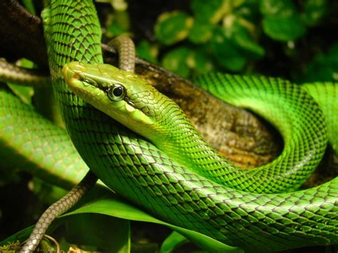 Sprei Green Borneo the snakes of bali