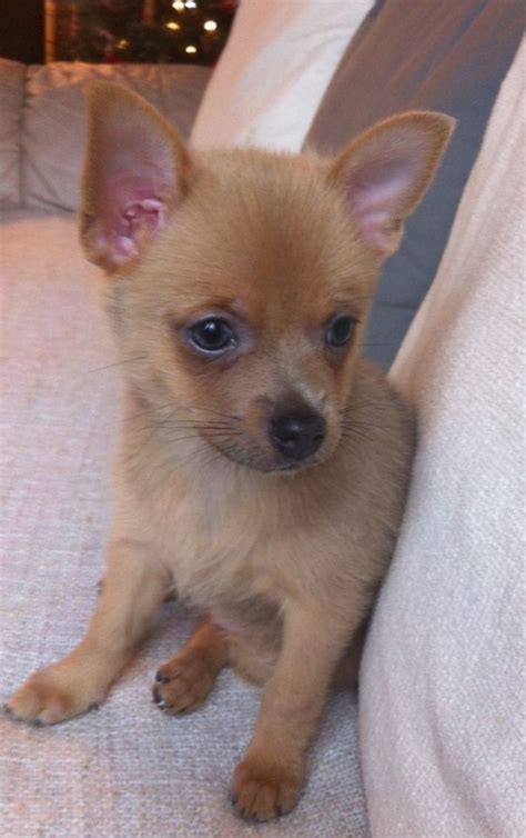 chihuahua and pomeranian mix puppies for sale blue roan puppies for pets for sale page 1