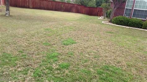 zoysia vs bermuda bermuda comparison to cavalier zoysia for shade lawns or