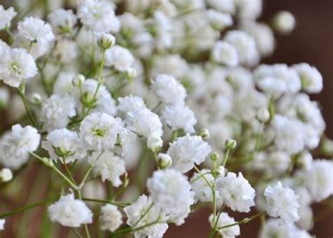 Benih Bunga White Babys Breath jual 50 biji bunga gypsophila white tinted babys baby breath bibit benih di lapak arkadia garden