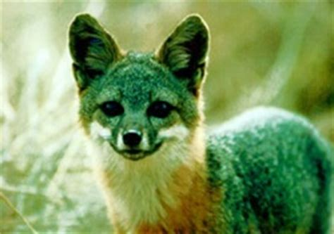 Of The Island Fox A Mystery tregs mystery rays from outer space
