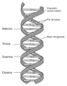 adn modelo de doble h 233 lice la gu 237 a de biolog 237 a
