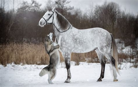 wallpaper dog horse snow stand winter husky bridle