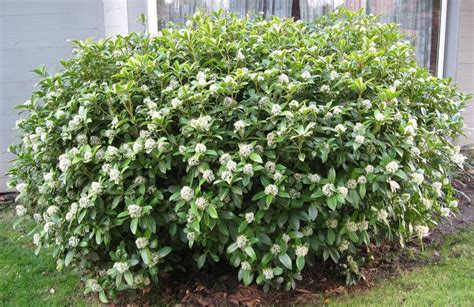 flowering evergreen shrubs for shade shrubs