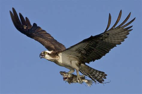 once threatened bird species making comebacks in ohio