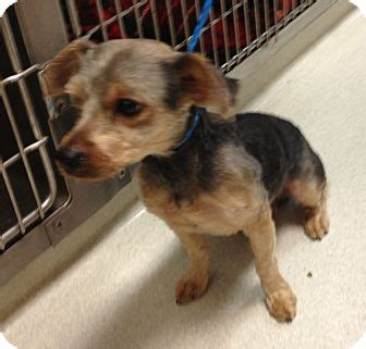 yorkie rescue mississippi morkie adopted olive branch ms yorkie terrier mix
