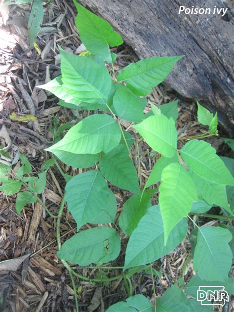 identify poison ivy leaves how to identify iowa s poisonous plants dnr news releases