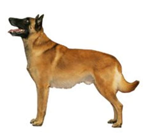 rottweiler vs malinois compare belgian malinois vs rottweiler difference between belgian malinois and