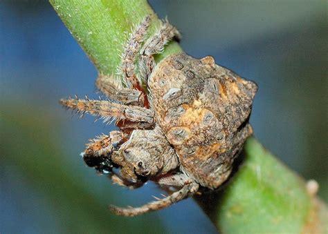 wrap  spider dolophones maximus