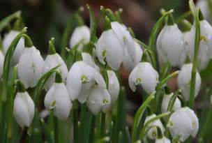 Snowdrop purely photography