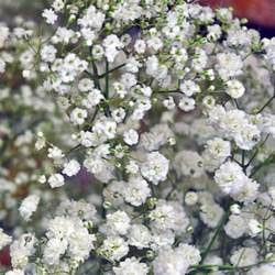 baby s breath baby s breath combo pack