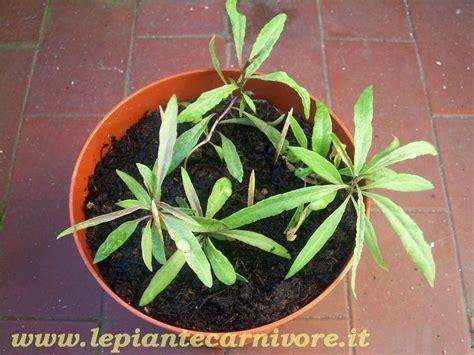 pianta di goji in vaso piante bacche di goji pianta lycium barbarum goji della
