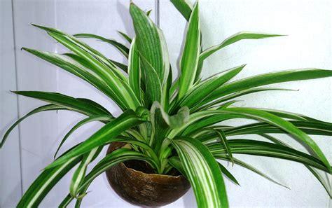 spider plant file spider plant chlorophytum comosum 1 jpg wikimedia