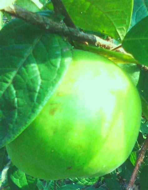 Daftar Bibit Buah Langka bibit buah langka buah buah impian